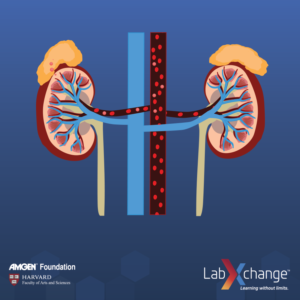 A screenshot of the kidneys from the Cell Signalling animation.