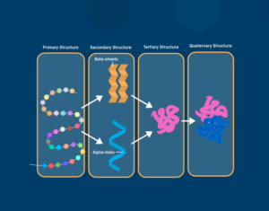 A diagram of the 4 types of protein structure